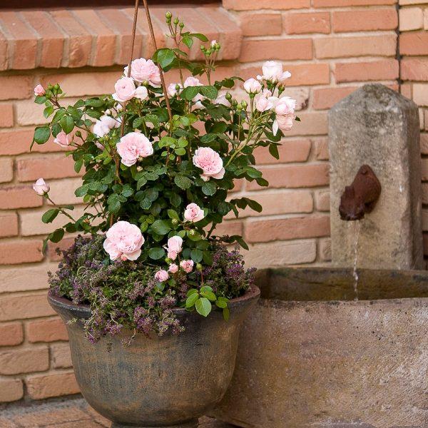 rose rosa garden fragrance cinderella kvepianti sodo bijunines rožės gėlės ir manufaktūra