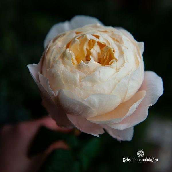 rose rosa madam gulya bijunines rožės peach cream persikinė pastelinė gėlės ir manufaktūra