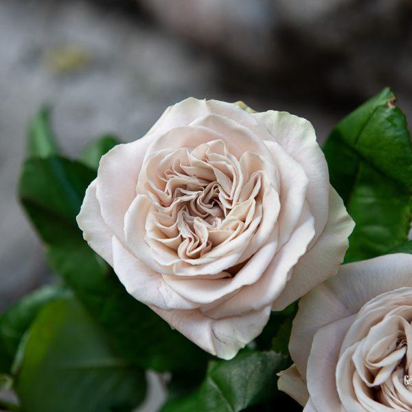 rose rosa westminster abbey grey pilka ruda pelenų spalvos gėlės ir manufaktūra