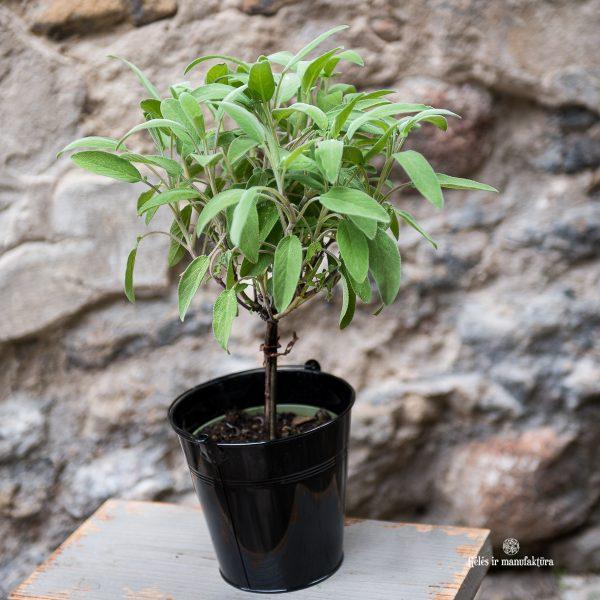 salvia officinalis šalavijas vaistinis pilkas gėlės ir manufaktūra augalai vaistažolė tree medelis prieskonis