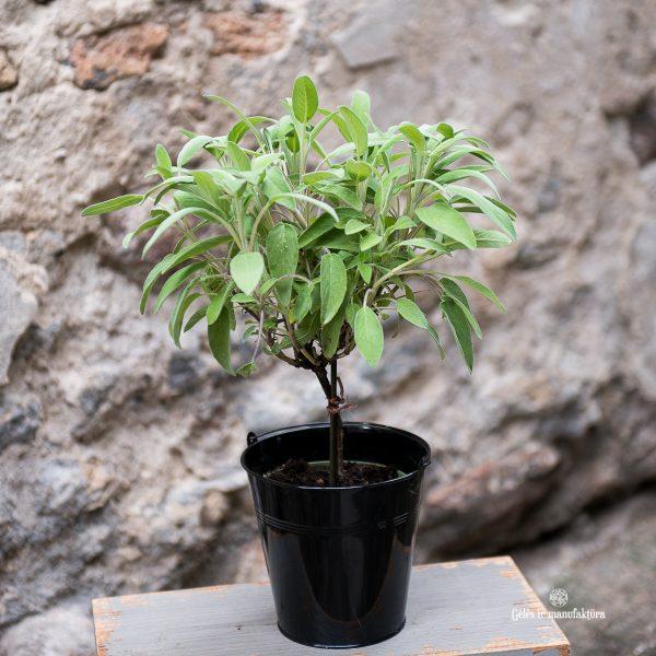 salvia officinalis šalavijas vaistinis pilkas gėlės ir manufaktūra augalai vaistažolė