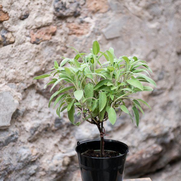 salvia officinalis šalavijas vaistinis pilkas gėlės ir manufaktūra augalai vaistažolė tree medelis prieskonis herbs
