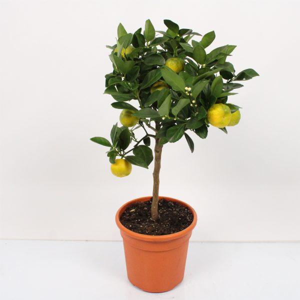 Citrus limetta Pursha laimas lime tree saldusis citrusas medelis
