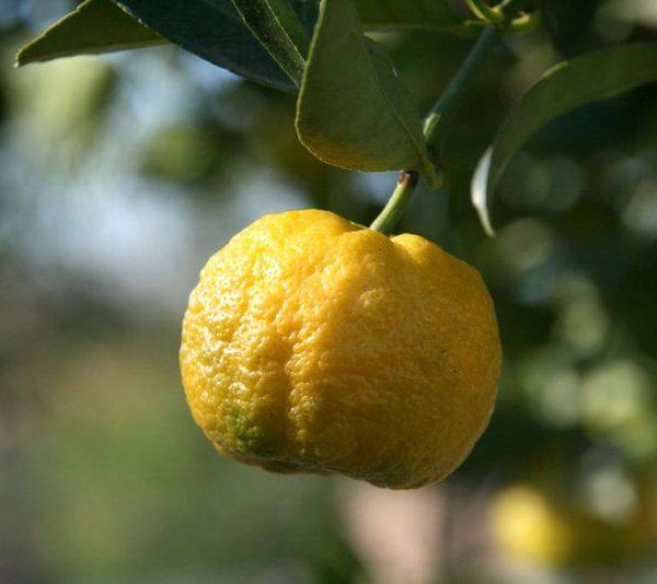 Citrus limetta Pursha laimas sweet lime tree limoncello yellow saldusis citrusas medelis