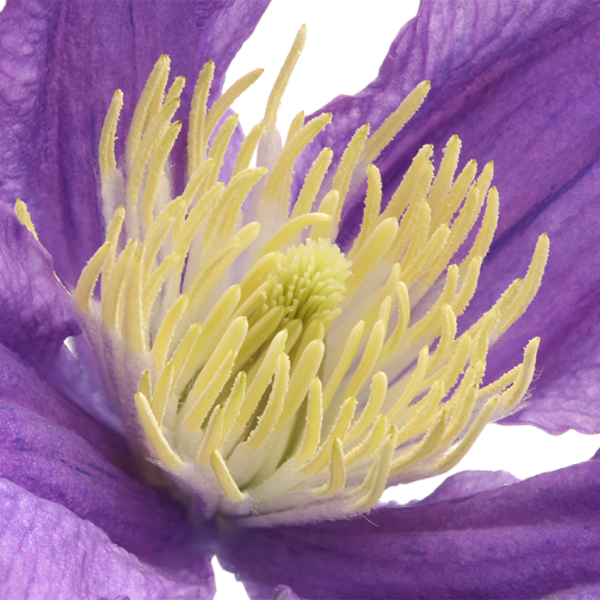 skintos raganės gėlės ir manufaktūra mėlyna žydra clematis raganė
