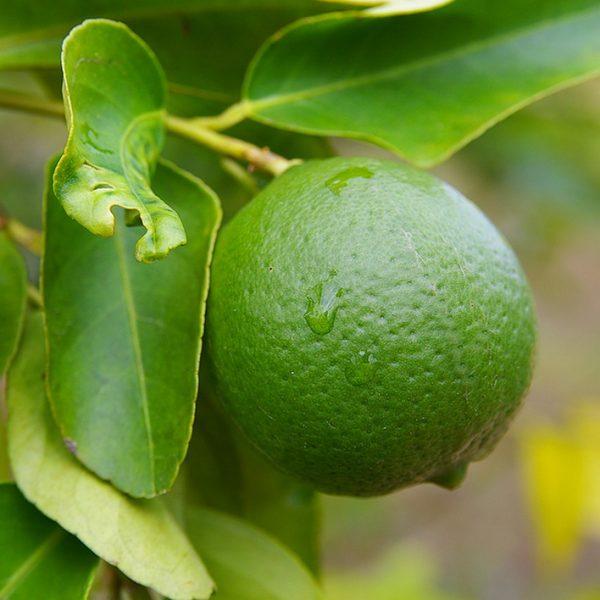 citrus lime tree aurantifolia key laimas laimo medelis citrinmedis citrusai fruits vaisiai Citrofortunella
