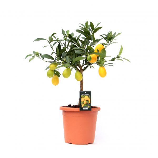 citrus limequat tree laimas laimo medelis citrinmedis citrusai fruits vaisiai
