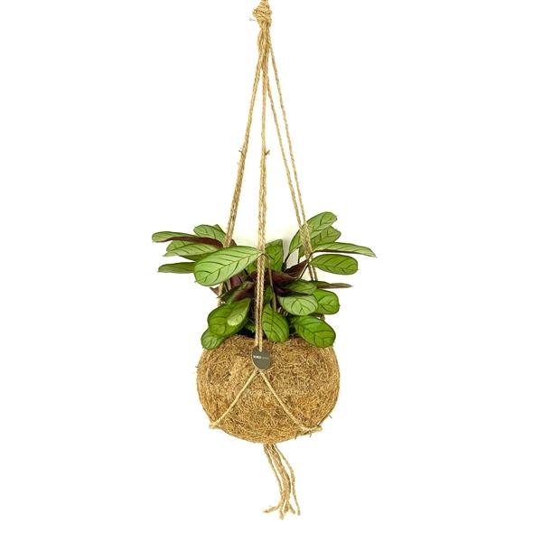 Kokodama pot cocos jungle plants calathea kokoso pluošto vazonas kambariniai augalai hanging kabantys