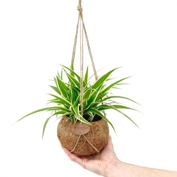 Kokodama pot cocos jungle plants chlorophytum chlorofitas kokoso pluošto vazonas kambariniai augalai hanging
