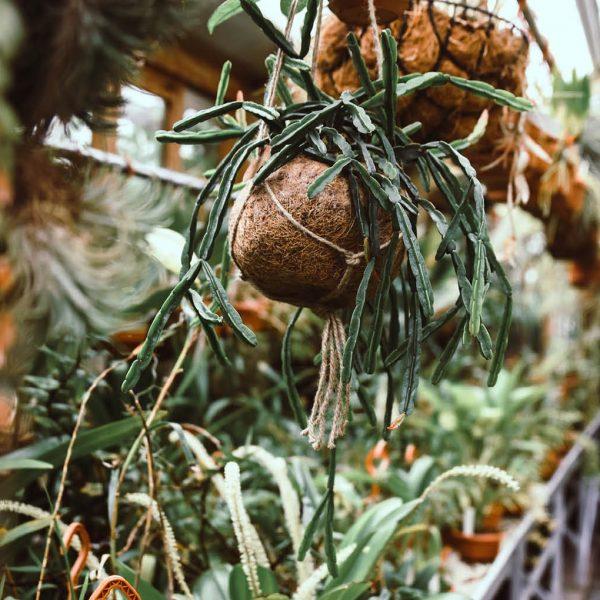 Kokodama pot cocos urban jungle plants chlorophytum rhipsalis tradescantia kokoso pluošto vazonas kambariniai augalai hanging kabantys