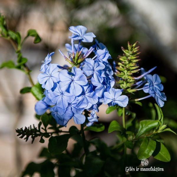 plumbago auriculata plants pliumbagis blue mėlynas augalas gėlės ir manufaktūra vijoklis terasos žydros spalvos žiedai