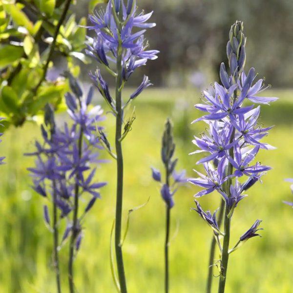 camassia leichtlinii caerulea grakščioji kamasija mėlyna svogūninis augalas gėlės ir manufaktūra bulbs blue