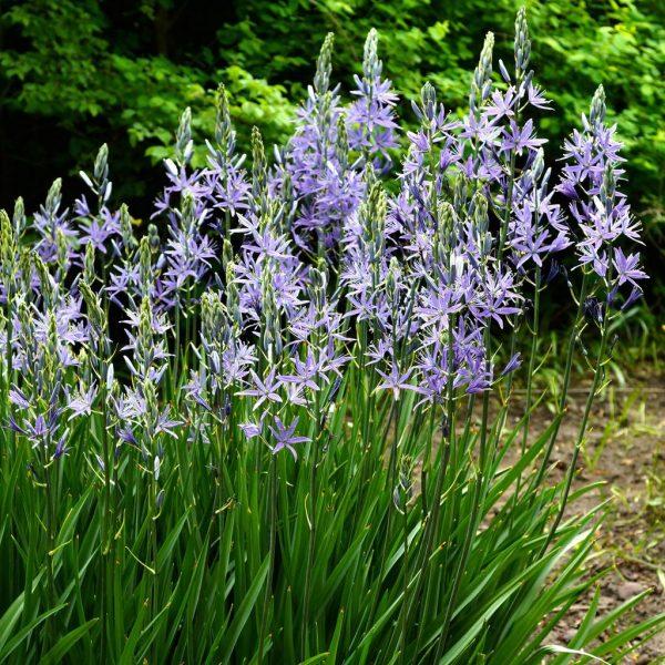camassia leichtlinii caerulea bulbs mėlynoji kamasija mėlyna svogūninis augalas gėlės ir manufaktūra blue