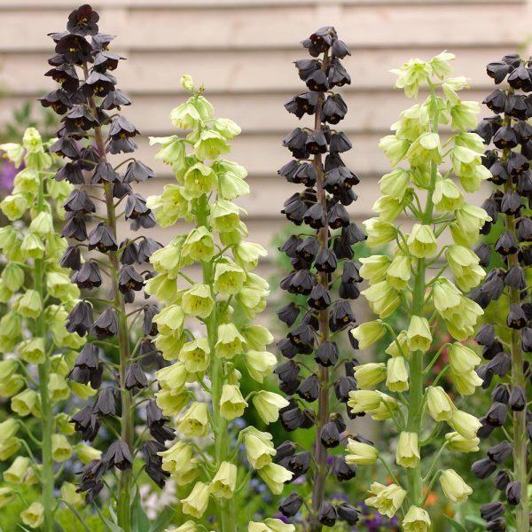 fritillaria-persica-ivory-bells margutė gigantiškoji žali varpeliai persinė žalsva gelsva gėlės ir manufaktūra persian lily green cream