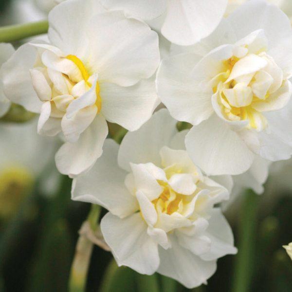 narcissus-cheerfulness-white daffodils fragrant narcizai daugiažiedžiai gėlės ir manufaktūra bulbs svogūninis augalas svogunas svogunai