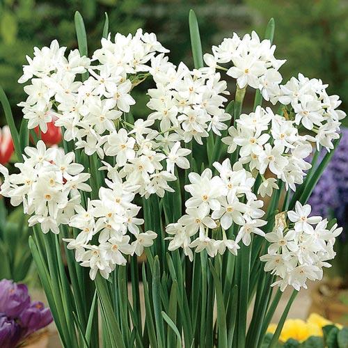 narcissus daffodils paperwhite ziva balti narcizai daugiažiedžiai gėlės ir manufaktūra bulbs svogūninis augalas svogunas