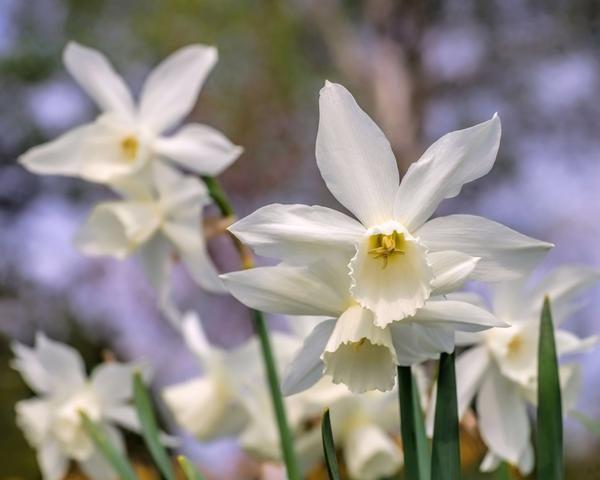 narcissus daffodils thalia bulbs narcizai gėlės ir manufaktūra svogūninis augalas narcizas baltas