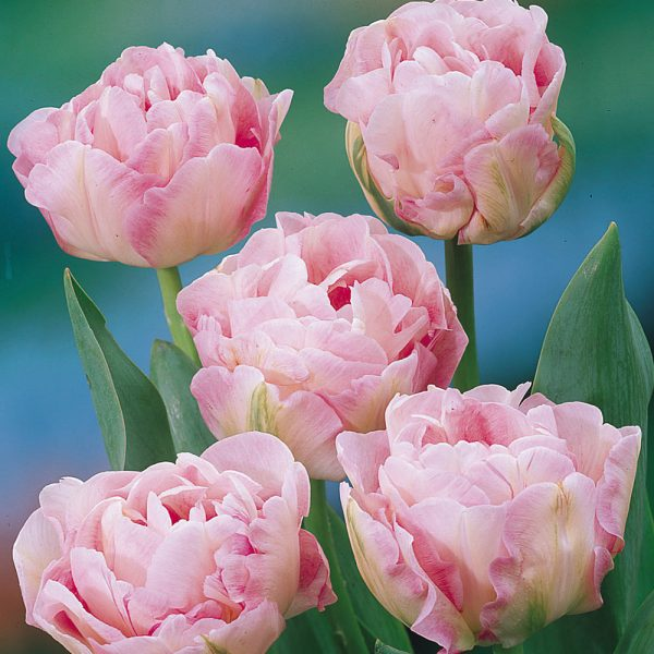 tulipa angelique bulbs rožinė tulpes tulpių svogūnėliai gėlės ir manufaktūra double pilnavidures bijunines svogūninis augalas pink tulips