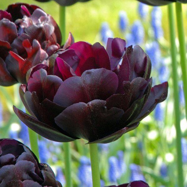 tulipa black hero tulips bulbs juoda tulpes tulpių svogūnai gėlės ir manufaktūra double pilnavidures bijunines svogūninis augalas