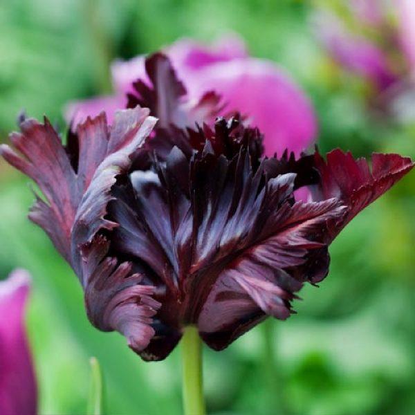 tulipa black parrot juoda papūginė tulips bulbs tulpės tulpių svogūnėliai gėlės ir manufaktūra svogūninis augalas
