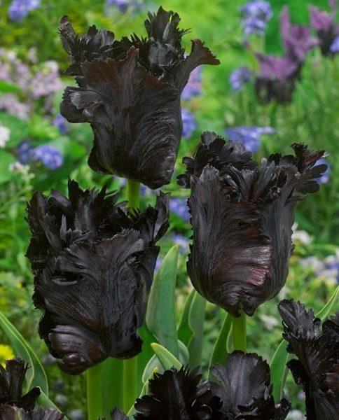 tulipa-black-parrot juoda papūginė tulips bulbs tulpės tulpių svogūnėliai gėlės ir manufaktūra svogūninis augalas svogūnas