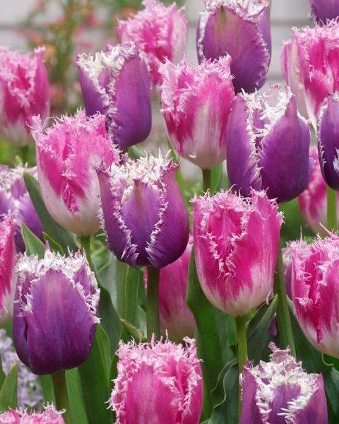 tulipa-cummins tulips fringed bulbs tulpes svogūnėliai gėlės ir manufaktūra šerkšnota baltai violetine