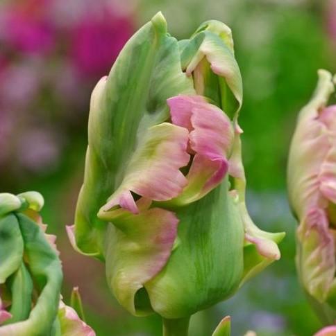 tulipa green wave tulips parrot papūginė žalia bulbs tulpės tulpių svogūnėliai gėlės ir manufaktūra svogūnas
