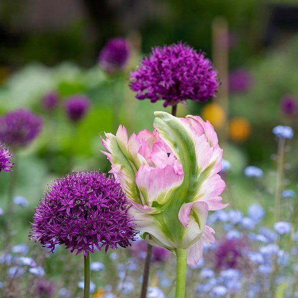 tulipa-green-wave tulips parrot papūginė žalia bulbs tulpės tulpių svogūnėliai augalas gėlės ir manufaktūra svogūnas