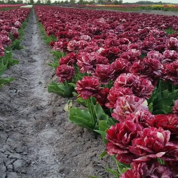 tulipa-nachtwacht bordo dark red double peony tulips bulbs tulpes tulpių svogūnėliai gėlės ir manufaktūra bordine pilnavidurė bijūninė