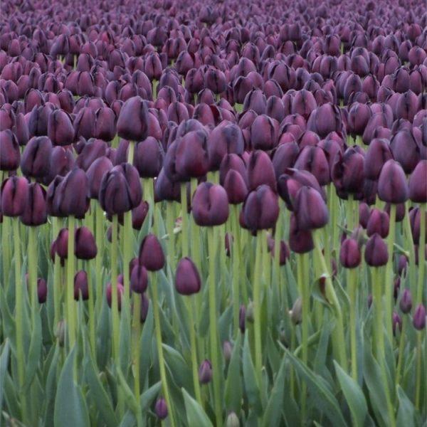 tulipa-queen-of-night black juoda tulpe tulpiu svogūnėliai olandiški gėlės ir manufaktūra