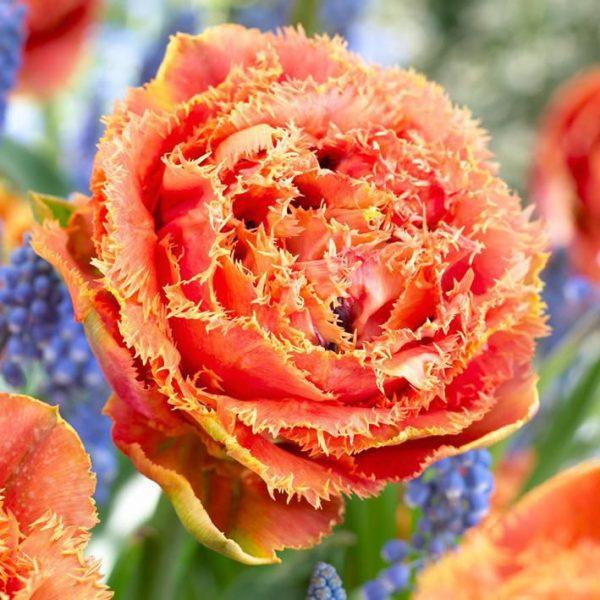 tulipa sensual touch bulbs double fringed orange oranžinės tulpes svogūnėliai gėlės ir manufaktūra pilnavidures svogūninis augalastulipa sensual touch bulbs double fringed orange oranžinės tulpes svogūnėliai gėlės ir manufaktūra pilnavidures svogūninis augalas