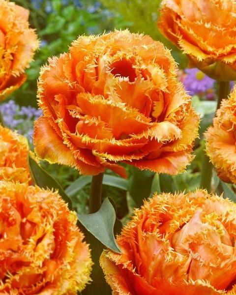 tulipa sensual touch bulbs double fringed orange oranžinės tulpes svogūnėliai gėlės ir manufaktūra pilnavidures svogūninis augalas