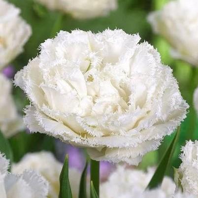 tulipa snow crystal tulips double bulbs tulpes tulpių svogūnėliai exclusive gėlės ir manufaktūra bijūninė šerkšnota pilnavidurė reta balta
