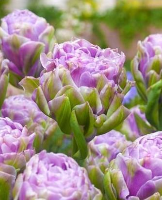 tulipa-violet-prana-tulips bulbs tulpes tulpių svogūnėliai gėlės ir manufaktūra double pilnavidurė bijūninė
