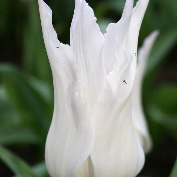 tulipa-white triumphator tulips baltos tulpės augalas gėlės ir manufaktūra svogūninis bulbs