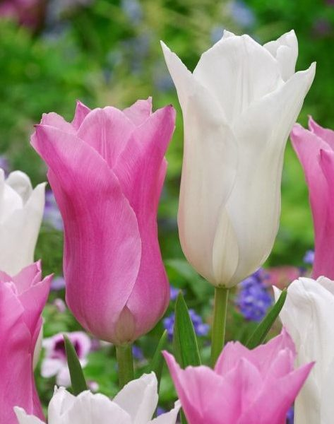 tulipa-white triumphator tulips baltos tulpės tulpių svogūnėliai augalas gėlės ir manufaktūra svogūninis svogūnas bulbs